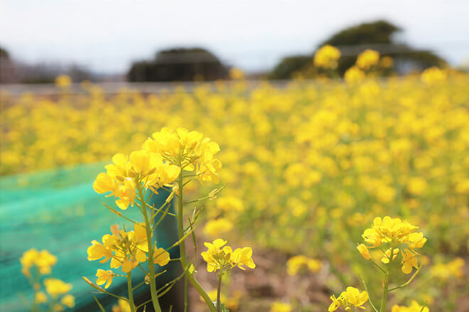 春を感じる「菜の花摘み&コンサート」