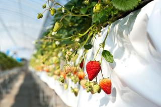 仕事もプライベートも充実させる⁉ とあるイチゴ農家夫婦のライフ&ワークスタイル